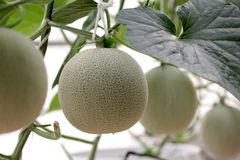 Cantaloupe melon growing in greenhouse. Organic farm Stock Image