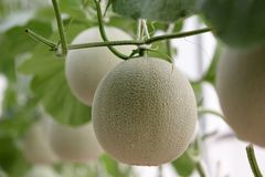 Cantaloupe melon growing in greenhouse. Organic farm Royalty Free Stock Image