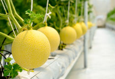 Cantaloupe melon growing in a greenhouse. Yellow Cantaloupe melon growing in a greenhouse Stock Image