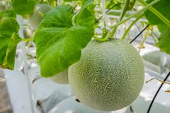 Cantaloupe melons growing in a greenhouse Stock Image