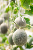 Cantaloupe melons growing in a greenhouse Royalty Free Stock Images