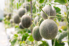Cantaloupe melons growing in a greenhouse Royalty Free Stock Photography