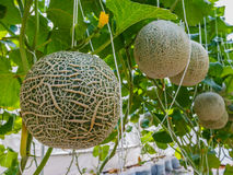 Cantaloupe melons growing in a greenhouse supported by string me Royalty Free Stock Photos