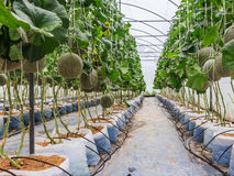 Cantaloupe melons growing in a greenhouse supported by string me Stock Image