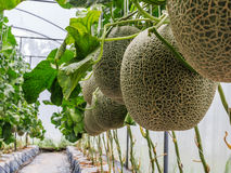 Cantaloupe melons growing in a greenhouse supported by string me Stock Photos