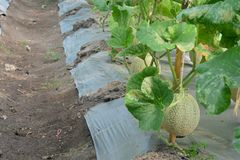 cantaloupe Ny melon på träd royaltyfria bilder