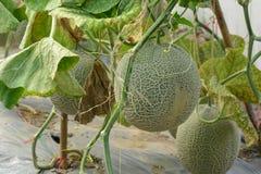 cantaloupe Ny melon på träd royaltyfri bild