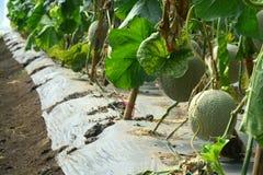 cantaloupe Ny melon på träd Arkivfoto