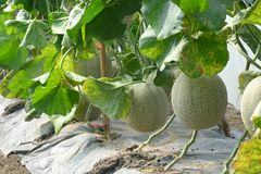 cantaloupe Ny melon på träd Royaltyfria Foton