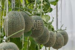 cantaloupe Ny melon på träd och sniden kines Arkivfoton