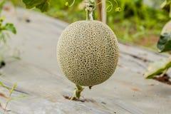 cantaloupe Ny melon på träd Selektivt fokusera Arkivfoto