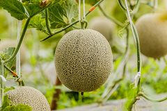 cantaloupe Ny melon på träd Selektivt fokusera royaltyfria foton