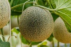 cantaloupe Ny melon på träd Selektivt fokusera royaltyfri bild