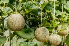 cantaloupe Ny melon på träd Selektivt fokusera Arkivbilder