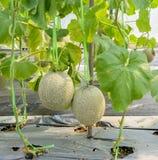 Cantaloupe plantation Royalty Free Stock Images