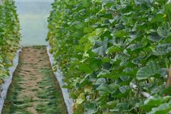 Cantaloupe planting in greenhouse pesticide residue free stock images