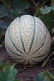 cantaloupe som ripening Royaltyfri Foto
