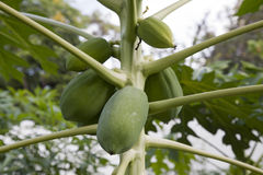 Cantaloupe still green on growing plant Royalty Free Stock Images