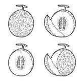 Cantaloupe. Vector Illustration Hand Drawn Fruit Cartoon Art vector illustration