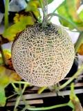 Cantaloupmelonboll på träd Royaltyfri Fotografi