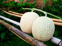 Cantaloupmelonmelon som växer i ett växthus Fotografering för Bildbyråer