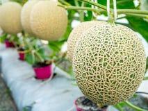 Cantaloupmelonmelon som växer i ett växthus som stöttas av rad Royaltyfri Bild