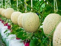 Cantaloupmelonmelon som växer i ett växthus som stöttas av rad Fotografering för Bildbyråer