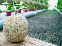 Cantaloupmelonmelon som växer i ett växthus, står på mitt av Arkivbild