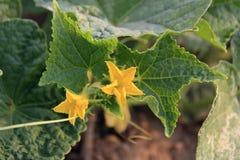 Cantalupo Fotografía de archivo