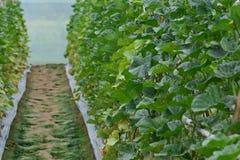 Cantalupo che pianta in antiparassitario della serra senza residui immagini stock