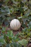 Cantalupo de maduración Fotos de archivo