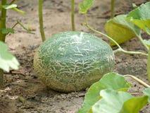 Cantalupo nel giardino Immagini Stock Libere da Diritti