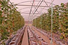 Cantalupo o melone, frutta della vite nella famiglia della cucurbitacea, produzione della serra di evaporazione Immagine Stock Libera da Diritti