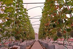 Cantalupo o melone, frutta della vite nella famiglia della cucurbitacea, produzione della serra di evaporazione Immagini Stock