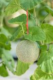 Cantalupo o melone verde che cresce in un'azienda agricola della serra immagine stock