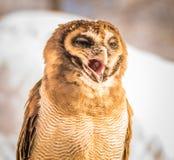 Cantando a coruja Fotografia de Stock