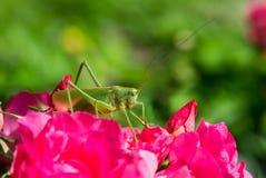 Cantans Katydid de Tettigonia Fotografia de Stock