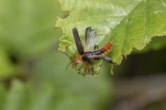 Cantaride, Cantharidae, camminando sulle foglie dell'albero e circa decollare volo durante il mese di giugno in Scozia immagini stock libere da diritti