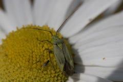 Cantaride rosso comune circa alla mosca Fotografia Stock