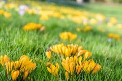 Canteiro de flores amarelo dos açafrões Imagem de Stock Royalty Free