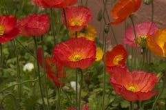 Canteiro de flores de flores coloridas da papoila Fotos de Stock Royalty Free