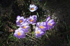 Canteiro de flores com açafrão Fotos de Stock Royalty Free