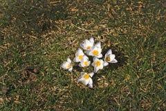 Canteiro de flores com açafrão Fotografia de Stock Royalty Free
