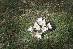 Canteiro de flores com açafrão Foto de Stock