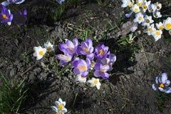 Canteiro de flores com açafrão Foto de Stock Royalty Free