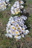 Canteiro de flores com açafrão Fotos de Stock