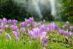 Canteiro de flores com açafrões no parque Foto de Stock