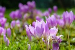 Canteiro de flores com açafrões no parque Imagens de Stock Royalty Free