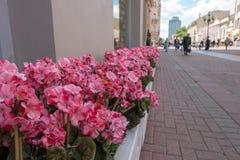 Canteiro de flores com as flores violetas cor-de-rosa em uma rua de Arbat Imagem de Stock Royalty Free