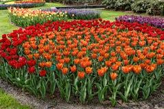 Canteiro de flores com as tulipas vermelhas e alaranjadas. Imagens de Stock